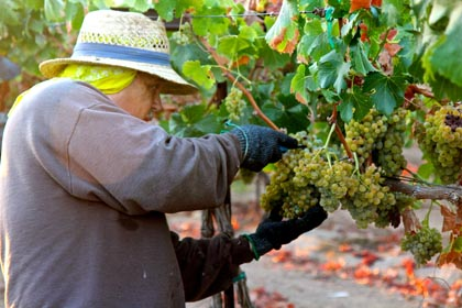 Hand picking of Acquiesce Vineyards Piquepoul