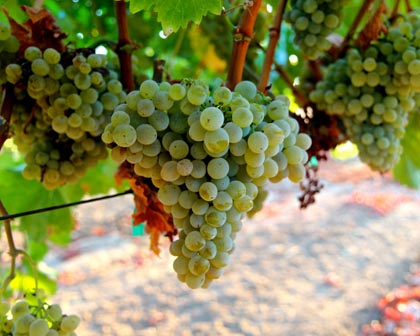 Acquiesce Vineyards Grenache Blanc clusters