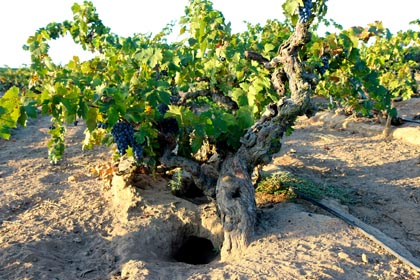 Gopher holes as massive as the trunks of these 105-year Zinfandel vines in Rous Vineyard