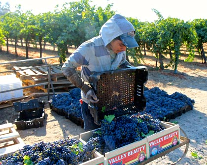 Delta Packing Co. field-packing Cabernet Sauvignon for table market