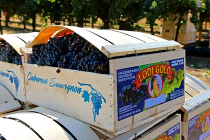 Lodi Gold Cabernet Sauvignon, freshly field-packed by Delta Packing Co.