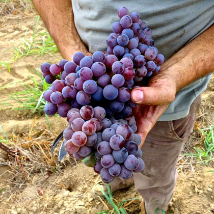 Classic old Mission grapes being field picked with Stampede Zinfandel
