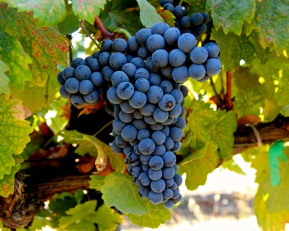 Rare, later ripening Dolcetto grapes in Celle Vineyard, farmed by Klinker Brick in the south-east corner of the Lodi AVA