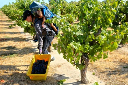 In Schulenburg Vineyard, Kristina Davey-Flores picks Zinfandel with her son