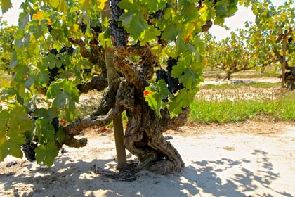 Ancient Zinfandel in Mohr-Fry Ranches' Marian's Vineyard (planted in 1901)