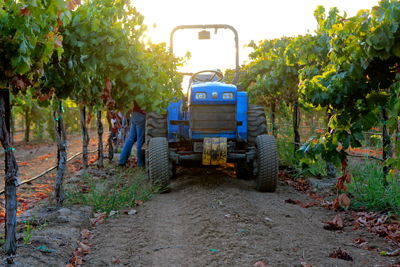 Early morning harvest in Acquiesce Vineyards