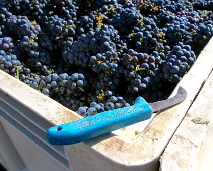 Picking knife resting on macro-bin of 2014 Schulenburg Vineyard Zinfandel (west side of Lodi's Mokelumne River AVA)