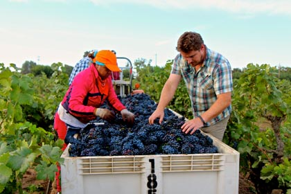 Bedrock's Morgan Twain-Peterson field sorting early picked 2014 Zinfandel in Lodi's Stampede Vineyard