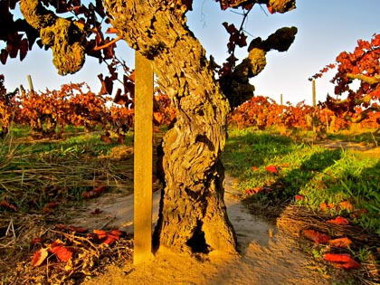Alicante Bouschet vines planted in the 1920s to supply home winemakers across the country
