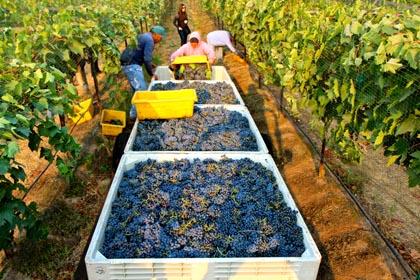 Sorelle's 2014 Sangiovese harvest