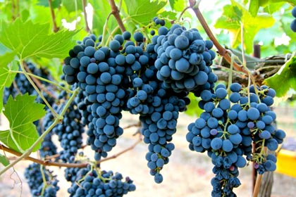 Sorelle Sangiovese grapes