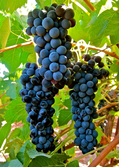 Lodi grown Cabernet Franc