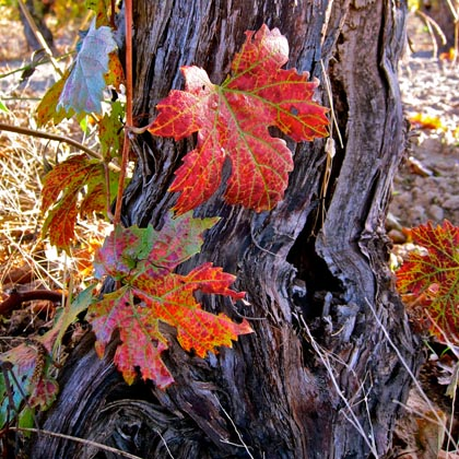 Old vine Lodi Zinfandel in autumn