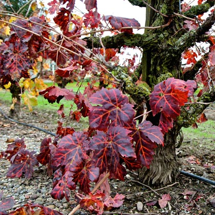 Old vine Lodi Zinfandel in December