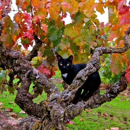 Winery cat in Jessie's Grove's ancient Carignane vine