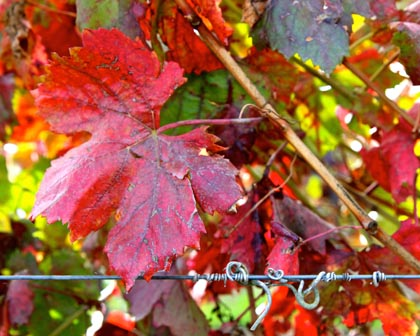 December reds in Lodi vineyard