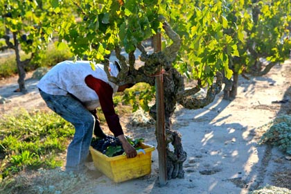 2014 harvest of historic Marian's Vineyard (planted in 1901) Zinfandel in Lodi