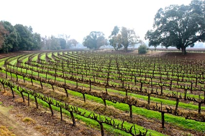 Lodi wine country during the foggy days of January