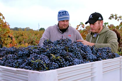 Kirschenmann Vineyard owner Tegan Passalacqua (left) field-sorting harvest…