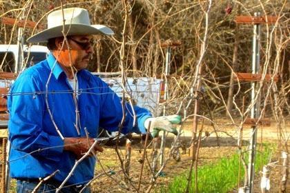 Borra Vineyard Manager Manuel Maldonado doing 2015 pruning (photo courtesy of Borra Vineyards)