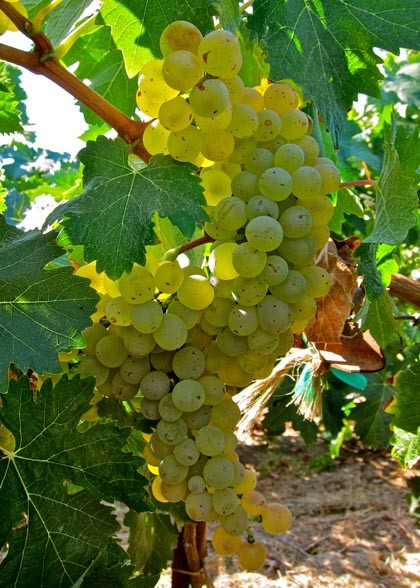 Lodi grown Vermentino