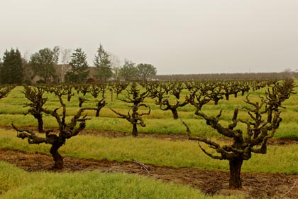 Head trained, own-rooted, old vine Grenache planted during the mid-1930s in Manaserro Vineyard, located in Lodi's Mokelumne River AVA