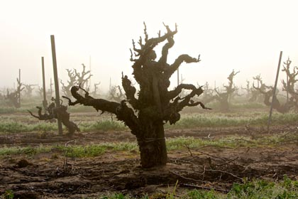 Ancient Carignan, planted around 1906 in the east side of Lodi's Mokelumne River AVA