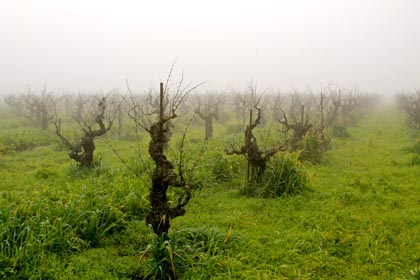 Bechthold Vineyard Cinsaut: Lodi's oldest continuously farmed vineyard (planted 1886)