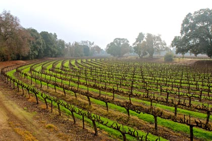 Trellised vines along Lodi's Mokelumne River