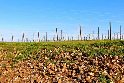 Bokisch's Vista Luna Vineyard: whereas as there are no rocks or elevated hills to be found in Lodi's Mokelumne River AVA, Lodi's Borden Ranch AVA is all about cobbled clay-loam, terraced slopes.