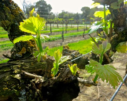 Spring (March 2015) growth among Heritage Oak's trellised Zinfandel