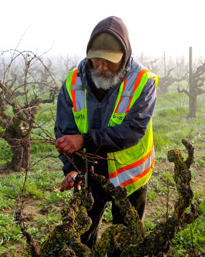 February pruning of 100-year old, own-rooted Kirschenmann Vineyard Zinfandel