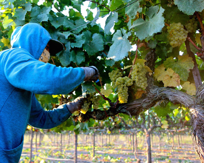 Michael David Winery's Bare Ranch Chardonnay harvest on Mokelumne River AVA's west side
