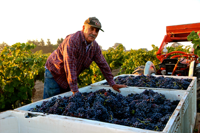 Leonard Manassero with Grenache from his own-rooted 80-year old Mokelumne River AVA vines
