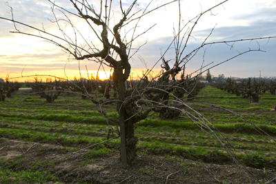 109-year-old, own-rooted Rauser Vineyard Carigan (next door to McCay's Lot 13 and Kirschenmann Vineyard):  a survivor from recent uprootings, and now a major component in McCay pink and red wines