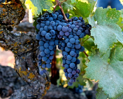 Lodi grown Zinfandel