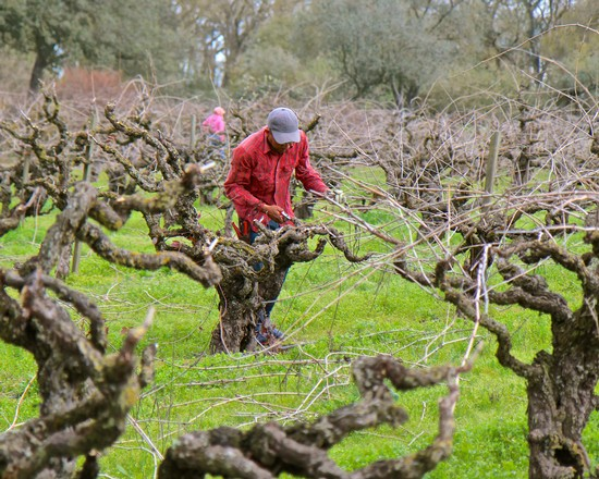 Lodi Winegrape Commission Blog Winter Pruning And The Language