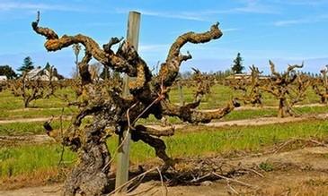 Old Vine Zinfandel