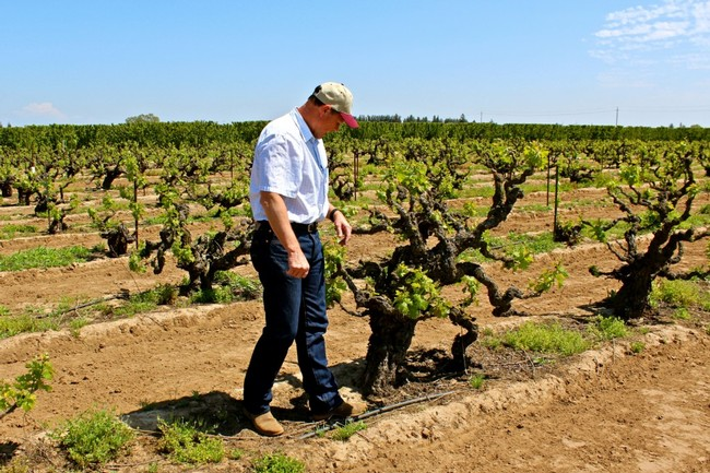 Craig Rous in his Rous Vineyard (Zinfandel on St. George rootstock, planted in 1909)