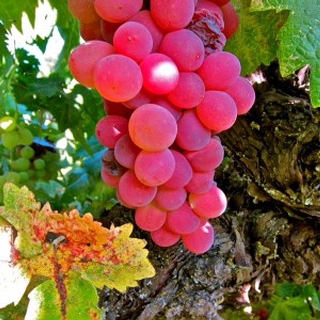 Heirloom grape of Mokelumne River:  Flame Tokay