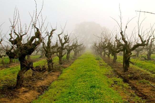 107-year old own-rooted Carignan vines in the Jessie's Grove estate