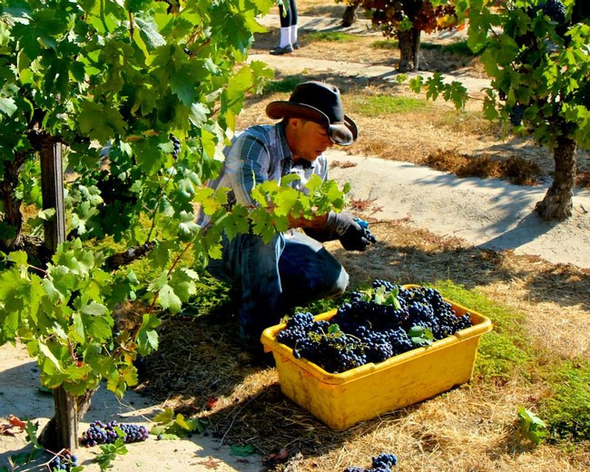 Michael Klouda picking Schulenburg Zinfandel in Mokelumne River AVA's west side