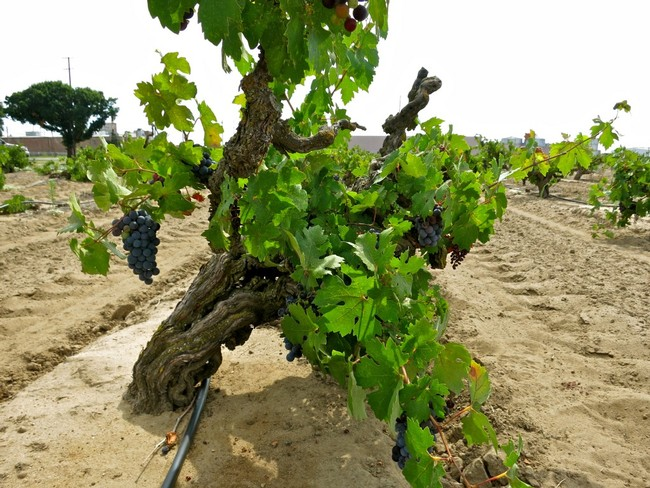 Ultra-fine loamy sand (as opposed to sandy loam) in Noma Vineyard, typifying the Mokelumne River AVA's east side viticulture